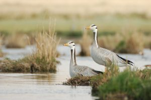 0074 Bar headed goose