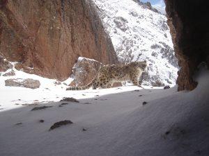18 snow leopard