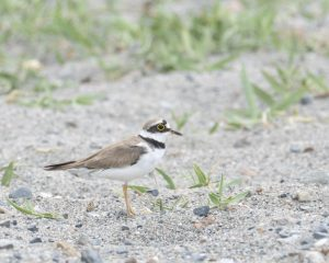 Little Ringed Plover Standing